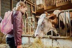 在一把稳定的吃干草的母牛 库存图片