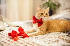 在一把红色弓的红色猫 库存图片
