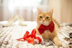 在一把红色弓的红色猫 库存照片