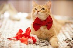 在一把红色弓的红色猫 免版税库存照片