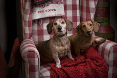 在一把红色方格的椅子的两只达克斯猎犬 图库摄影