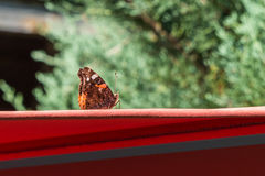 在一把红色遮阳伞的红蛱蝶蝴蝶 免版税库存照片