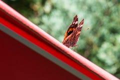 在一把红色遮阳伞的红蛱蝶蝴蝶 库存图片