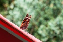 在一把红色遮阳伞的红蛱蝶蝴蝶 免版税图库摄影