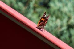 在一把红色遮阳伞的红蛱蝶蝴蝶 图库摄影