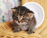 在一把藤椅的微小的新出生的镶边小猫 免版税库存照片