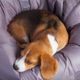 在一把软的椅子的小猎犬 库存图片