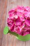 在一把绿色喷壶的一朵浅粉红色的八仙花属花 库存图片