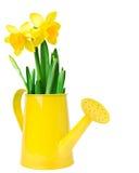 水仙在一把黄色喷壶的花的布置 库存图片