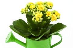 在一把绿色喷壶的Kalanchoe花 库存照片