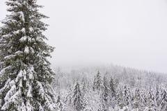 在一有雾的天期间,冬天风景-多雪的冷杉森林 免版税库存图片