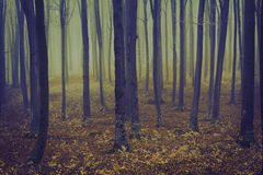 在一有雾的天期间,浪漫典雅的森林 免版税库存照片