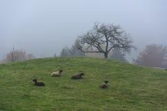 在一有雾的hil的绵羊牧群 免版税库存图片