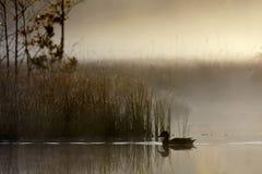 在一有雾的pon的野鸭游泳 免版税库存照片