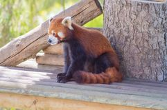 在一木promontoir的红熊猫在公园 库存照片
