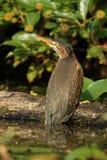 在一本下落的日志栖息的少年绿色苍鹭 库存图片