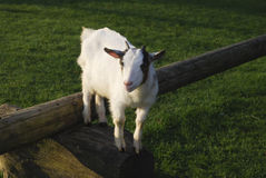 在一本木日志跳的山羊 库存图片