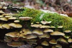 在一本生苔日志的蘑菇 免版税库存图片