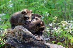 在一本空心日志的三头浣熊 免版税图库摄影