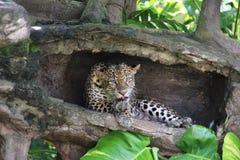 在一本空心日志的豹子 图库摄影