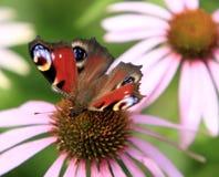 在一朵五颜六色的庭院花的唯一孔雀铗蝶 库存照片