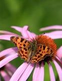 在一朵五颜六色的庭院花的唯一逗号蝴蝶 库存照片