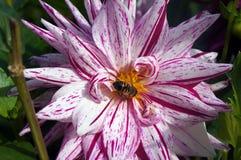 在一朵五颜六色的花的蜂 库存图片