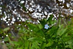 在一朵发光的河勿忘我草花的勿忘草在夏天 库存照片