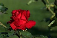 在一朵唯一红色玫瑰的露滴 免版税库存图片