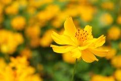 在一朵唯一花的黄色波斯菊花开花焦点 免版税库存图片