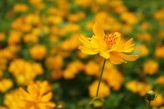 在一朵唯一花的黄色波斯菊花开花焦点 库存图片