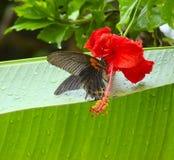 在一朵大红色花的异乎寻常的蝴蝶 库存图片