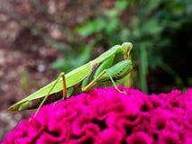 在一朵大花的捕食的螳螂 图库摄影