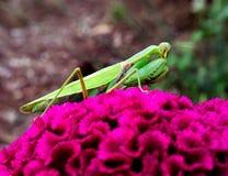在一朵大花2的捕食的螳螂 免版税库存图片