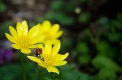在一朵好的黄色花的一只瓢虫 免版税图库摄影
