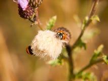 在一朵小白色蓟花顶部的一个7个小点瓢虫 免版税库存照片