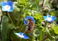 在一朵小的蓝色花的蜂 库存图片
