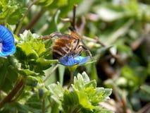 在一朵小的蓝色花的蜂 库存照片
