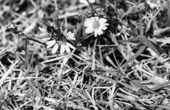 在一朵小野花登陆了一次共同的房子飞行的黑白,宏观照片 图库摄影