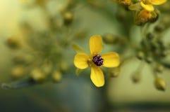 在一朵小黄色花困住的臭虫 库存照片