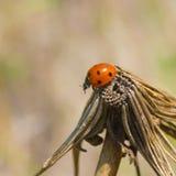 在一朵干燥花的孤独的瓢虫 免版税库存图片