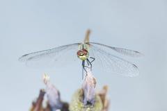 在一朵干燥花的蜻蜓 免版税库存照片