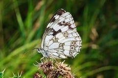 在一朵干燥花的蝴蝶 免版税库存图片