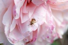 在一朵开花的桃红色玫瑰的小臭虫 库存照片