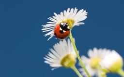 在一朵微小的白色野花的美丽的瓢虫 免版税库存照片