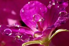在一朵明亮的桃红色花的露滴 库存图片