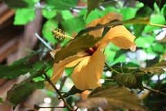 在一朵柔和的黄色花的木槿绽放 库存照片