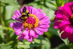 在一朵桃红色和黄色花的土蜂 库存图片