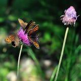 在一朵桃红色山花的蝴蝶 库存图片