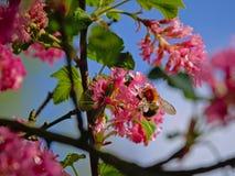 在一朵桃红色无核小葡萄干花的土蜂-醋栗sanguineum,选择聚焦 库存图片